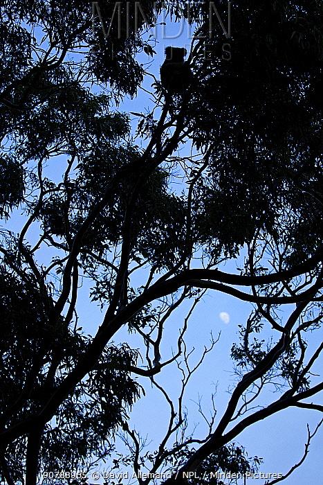 Koala (Phascolarctos cinereus) silhouetted in tree  at twilight with moon. Cape Otway, Victoria, Australia
