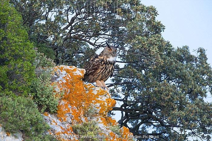 Eurasian eagle-owl (Bubo Bubo) perched on rocks, Alpilles, France