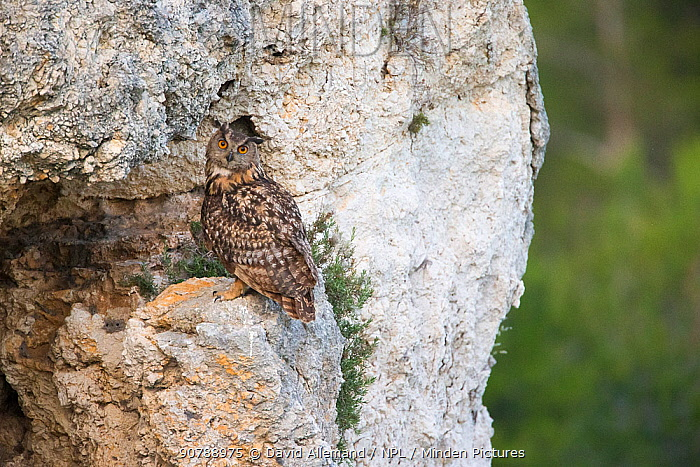 Eurasian eagle-ow (Bubo Bubo) perched on rocks, Alpilles, France, June.