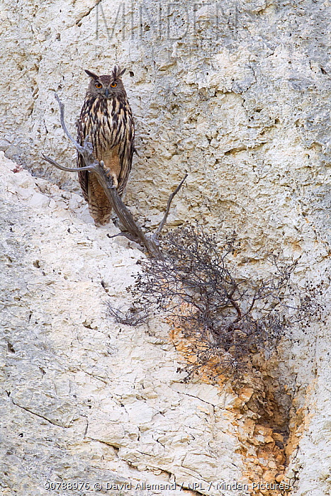 Eurasian eagle-owl (Bubo Bubo) Alpilles, France, June.