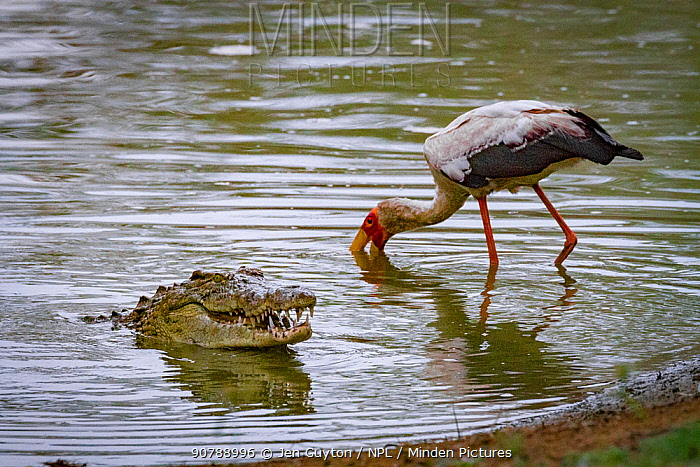 Yellow-billed stork (Mycteria ibis) hunting for fish near a Nile crocodile (Crocodylus niloticus) that has come up to swallow a mouthful of fish. Msicadzi River, Gorongosa National Park, Mozambique. During the  dry season many water sources dry up trapping fish in smaller areas. Many birds and crocodiles gather to feed on this  abundant food source.