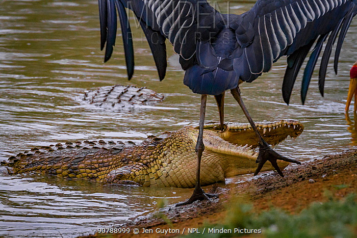 Nile crocodile (Crocodylus niloticus) surfacing to eat tiny fish whilst a Marabou stork (Leptoptilos crumenifer) looks on, ready to steal a fish if the opportunity arose. Msicadzi River, Gorongosa National Park, Mozambique. During the  dry season many water sources dry up trapping fish in smaller areas. Many birds and crocodiles gather to feed on this  abundant food source.