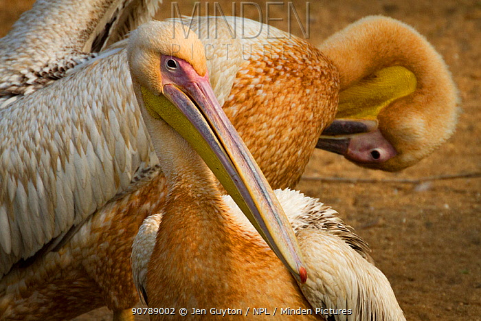 Great white pelicans (Pelecanus onocrotalus) preening beside the Msicadzi River, Gorongosa National Park, Mozambique.  During the  dry season many water sources dry up trapping fish in smaller areas. Many birds and crocodiles gather to feed on this  abundant food source.