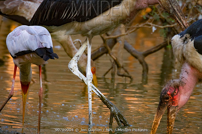 Marabou storks (Leptoptilos crumenifer) and Yellow-billed storks (Mycteris ibis) sweeping  the water for fish in the Msicadzi River, Gorongosa National Park, Mozambique. During the  dry season many water sources dry up trapping fish in smaller areas. Many birds and crocodiles gather to feed on this  abundant food source.