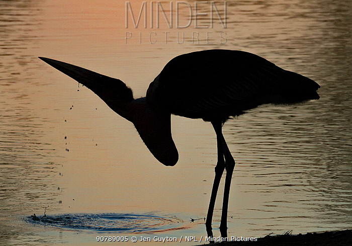 Marabou stork (Leptoptilos crumenifer) drinking at sunset in the Msicadzi River, Gorongosa National Park, Mozambique. During the  dry season many water sources dry up trapping fish in smaller areas. Many birds and crocodiles gather to feed on this  abundant food source.