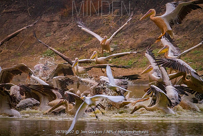 Great white pelicans (Pelecanus onocrotalus) and pink-backed pelicans (Pelecanus rufescens) diving into the Musicadzi River, Gorongosa National Park, Mozambique. During the  dry season many water sources dry up trapping fish in smaller areas. Many birds and crocodiles gather to feed on this  abundant food source.