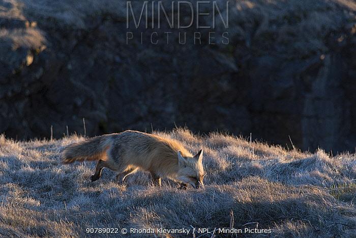 Red fox (Vulpes vulpes), Elliston, Bonavista Peninsula, Newfoundland, Canada, May 2017