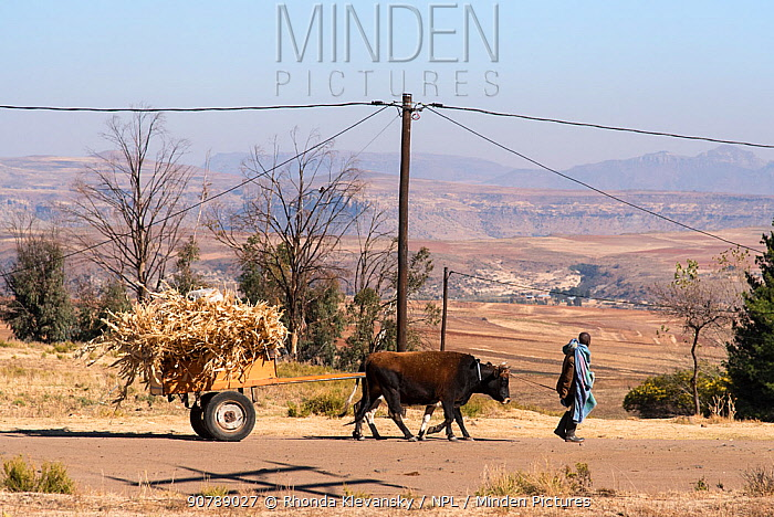 Farmer transporting maize chaff with oxen, Lesotho. August 2017