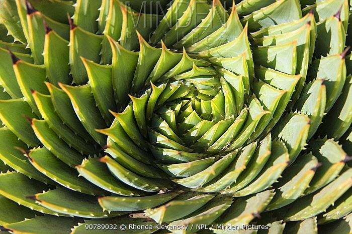 Spiral aloe, (Aloe polyphilla), Lesotho. August.