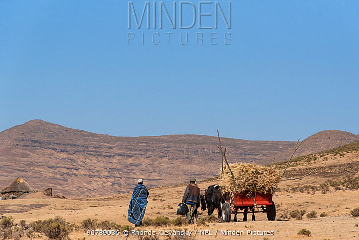 Farmers transporting maize chaff with oxen,  Semonkong,Lesotho. August 2017