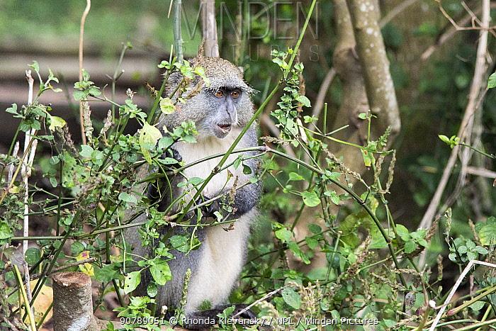 Samango monkey (Cercopithecus mitis erythrarchus)  Cape Vidal, Isimangaliso Wetland Park UNESCO World Heritage Site, and RAMSAR Wetland. KwaZulu Natal, South Africa.