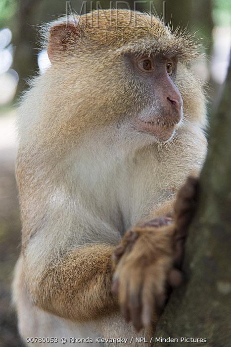 Samango Monkey (Cercopithecus mitis erythrarchus) albino, Cape Vidal, iSimangaliso Wetland Park UNESCO World Heritage Site, and RAMSAR Wetland. KwaZulu Natal, South Africa.