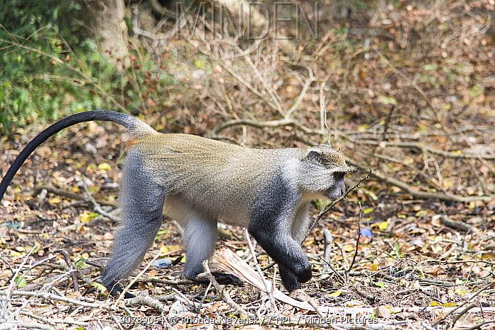 Samango Monkey (Cercopithecus mitis erythrarchus). Cape Vidal, iSimangaliso Wetland Park UNESCO World Heritage Site, and RAMSAR Wetland. KwaZulu Natal, South Africa,