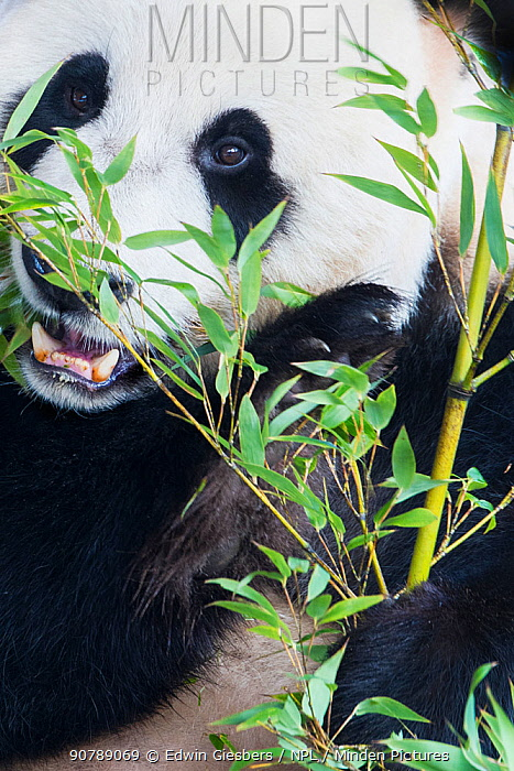 Giant panda (Ailuropoda melanoleuca) feeding on bamboo, captive.