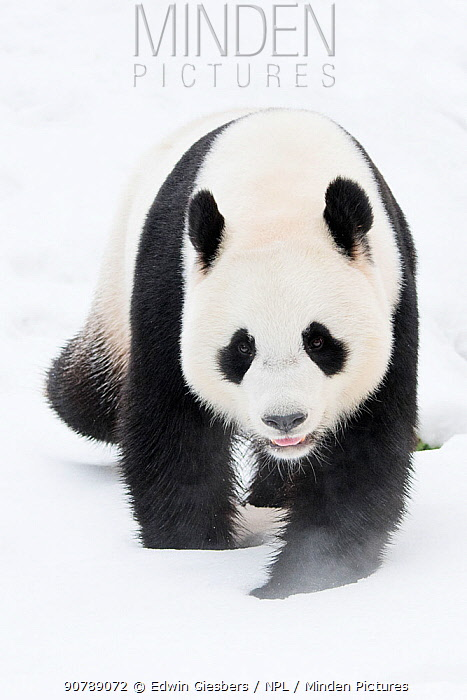 Giant panda (Ailuropoda melanoleuca) in snow, captive.