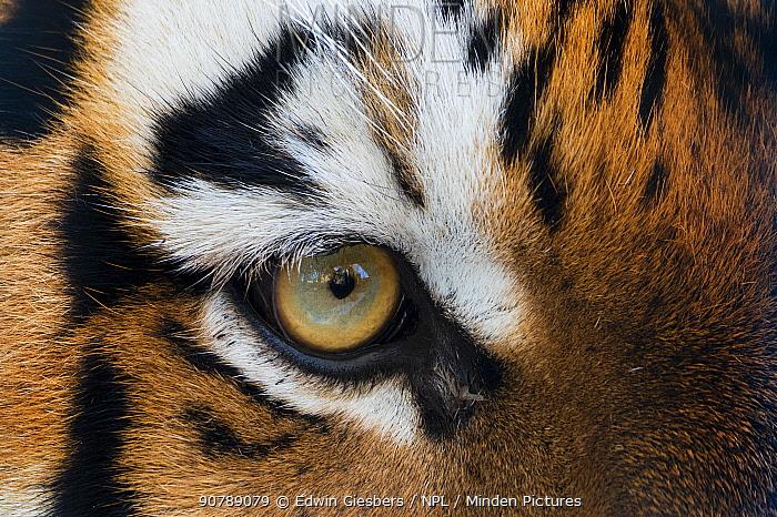Siberian tiger (Panthera tigris altaica) close up of eye, captive.