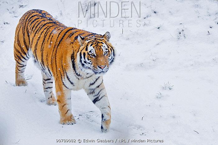 Siberian tiger (Panthera tigris altaica) in snow, captive.
