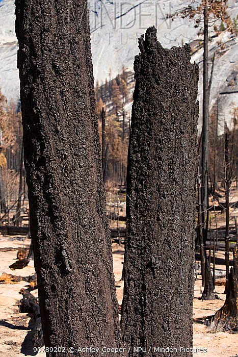 Forest fire destroyed area of forest in the Little Yosemite Valley, Yosemite National Park, California, USA. Most of California was in exceptional drought, the highest classification of drought, which  led to an increasing number of wild fires.  October 2014