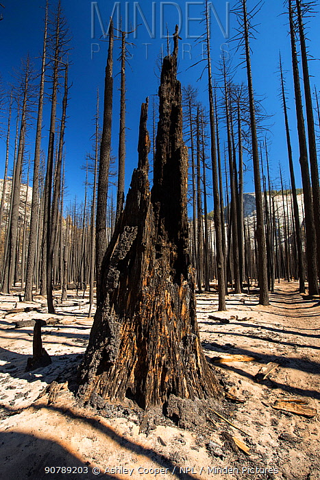 Forest fire destroyed area of forest in the Little Yosemite Valley, Yosemite National Park, California, USA. Most of California was in exceptional drought, the highest classification of drought, which has led to an increasing number of wild fires.  October 2014