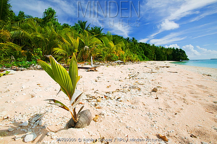Coconut seedling (Cocos nucifera) on beach, Funafuti Atoll, Tuvalu. March 2007. These islands are very low lying and susceptible to sea level rise.