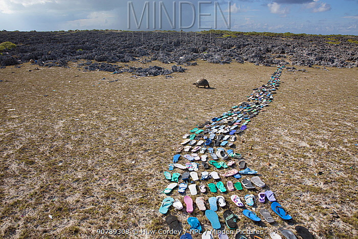 Pathway made of  plastic shoes ( flip flops) washed up on the beach  and collected within 20 metres of the middle of the picture. In the background is a Aldabra giant tortoise (Aldabrachelys gigantea). Cinq Cases, Aldabra Island, Indian Ocean