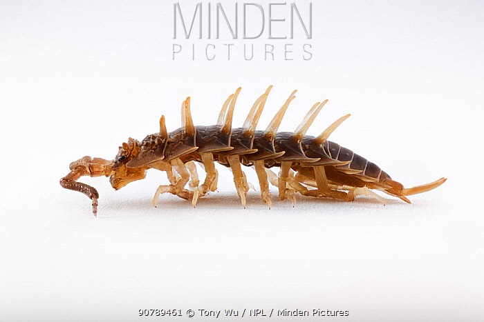 Horned isopod (Deto echinata) male, a woodlouse species which lives in the intertidal zone. South Africa