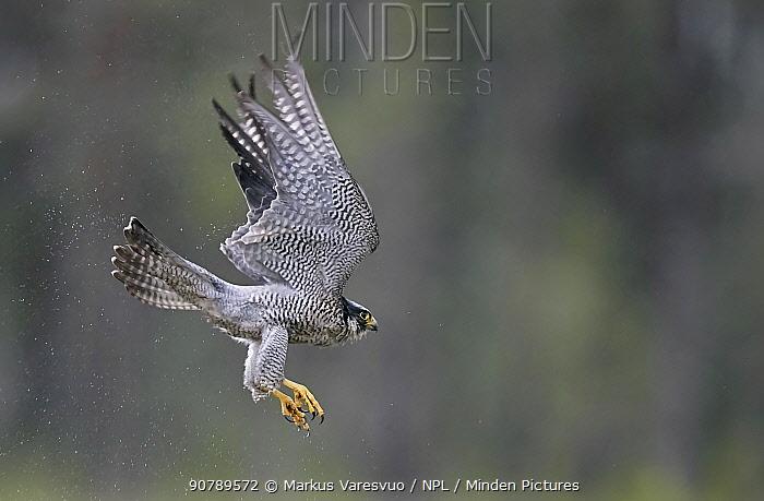 Peregrine falcon (Falco peregrinus) in flight, Vaala, Finland, June.