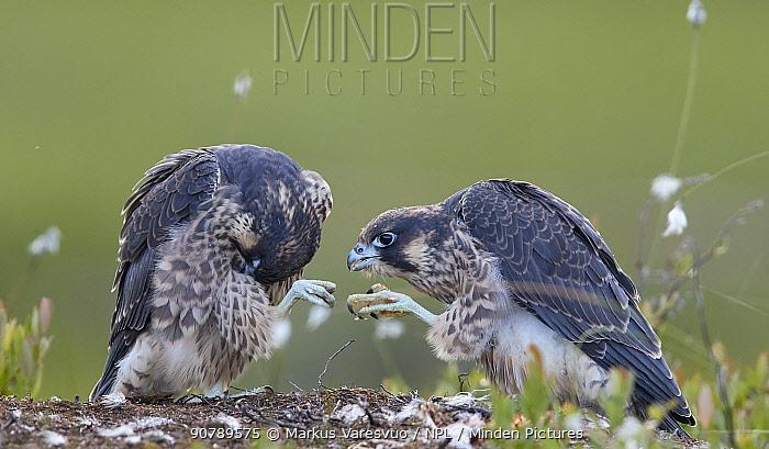 Peregrine falcon (Falco peregrinus) fledglings preening, Vaala, Finland, June.