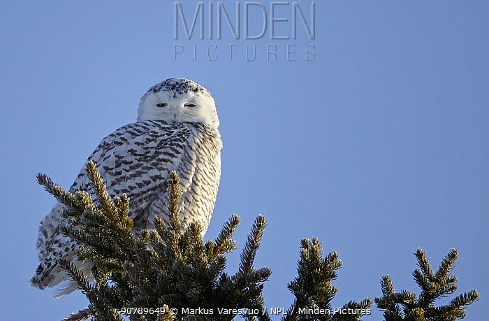 Snowy owl (Nyctea scandiaca) female perched, Rovaniemi, Finland, March.