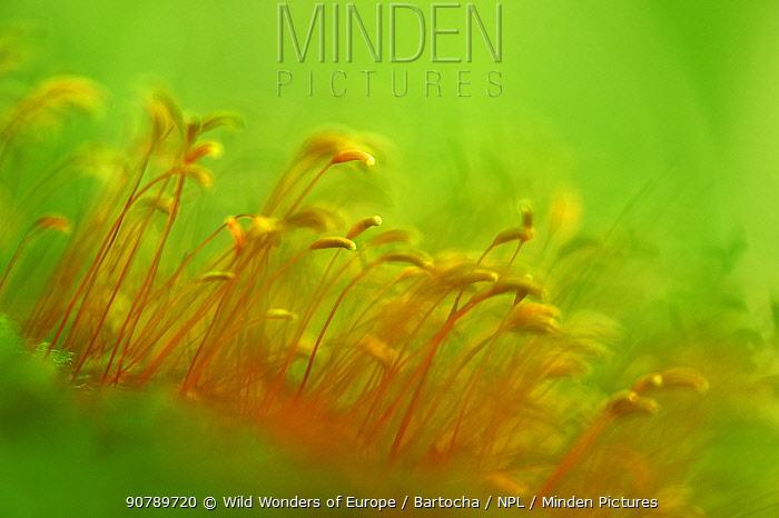 Close up of moss (Bryophyta) sporophytes, Runcu Valley, Dambovita County, Leota Mountain Range, Carpathian Mountains, Romania, July
