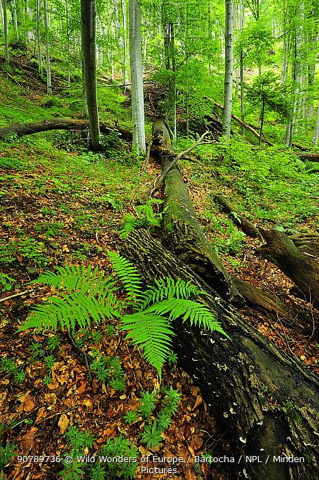 Lady fern (Athyrium filix-femina) growing in a beech (Fagus sylvatica) forest,  Runcu Valley, Dambovita County, Leota Mountain Range, Romania, July