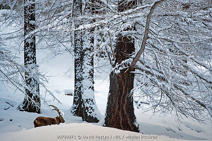 Alpine ibex (Capra ibex) male in between very old pine trees in snow, Valsavarenche, Gran Paradiso National Park, Italy.