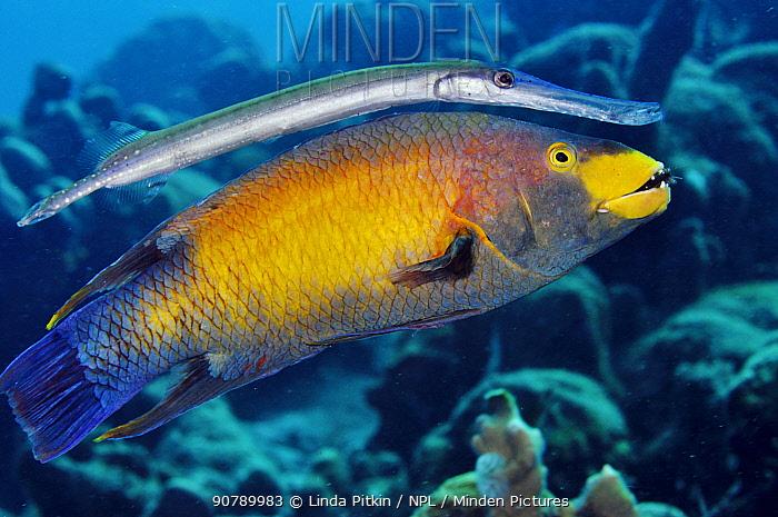 Trumpetfish (Aulostomus maculatus) using a Spanish Hogfish (Bodianus rufus) as a 'stalking horse'. Spanish Hogfish is eating an arm of a starfish. Bonaire, Leeward Antilles, Caribbean