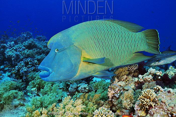 Humphead wrasse (Cheilinus undulatus) on coral reef. Shark Reef to Jolande, Ras Mohammed National Park, Egypt, Red Sea.