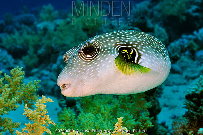 Whitespotted puffer (Arothron hispidus) on coral reef, Jackfish Alley, Ras Mohammed NP, Egypt, Red Sea.