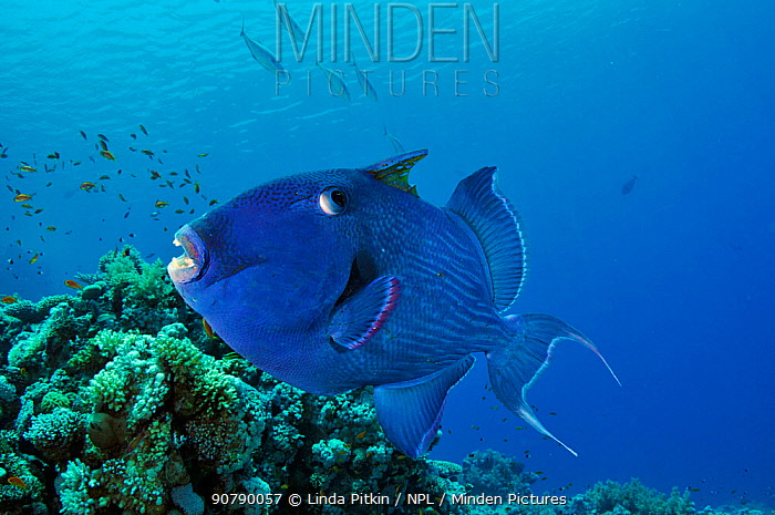 Blue triggerfish (Pseudobalistes fuscus) Shark Reef to Jolande, Ras Mohammed National Park, Egypt, Red Sea.
