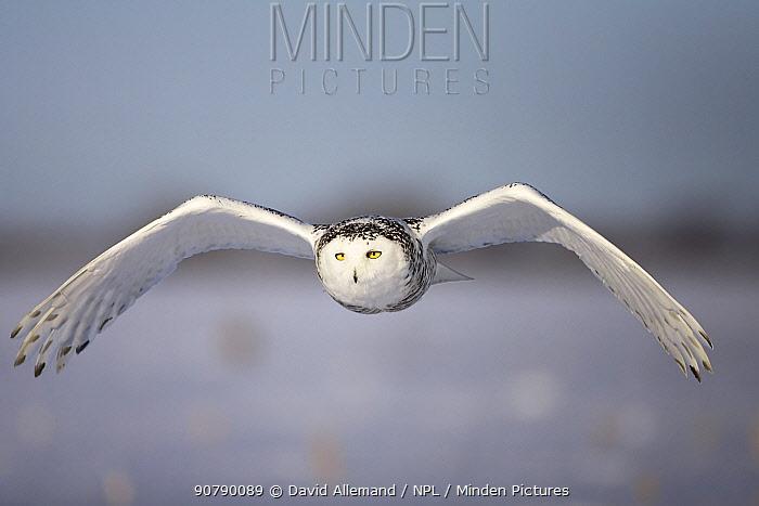 Snowy owl (Bubo scandiacus)  female flying, Quebec, Canada