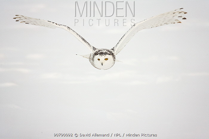 Snowy owl (Bubo scandiacus)  female flying, Quebec, Canada