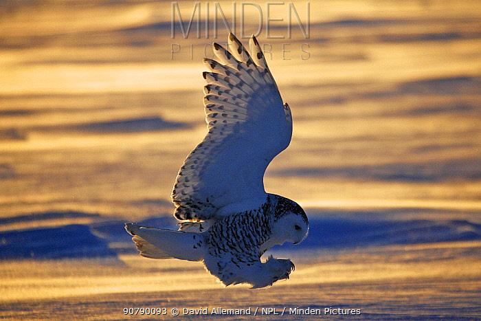Snowy owl (Bubo scandiacus)  Female landing in the snow, Quebec, Canada