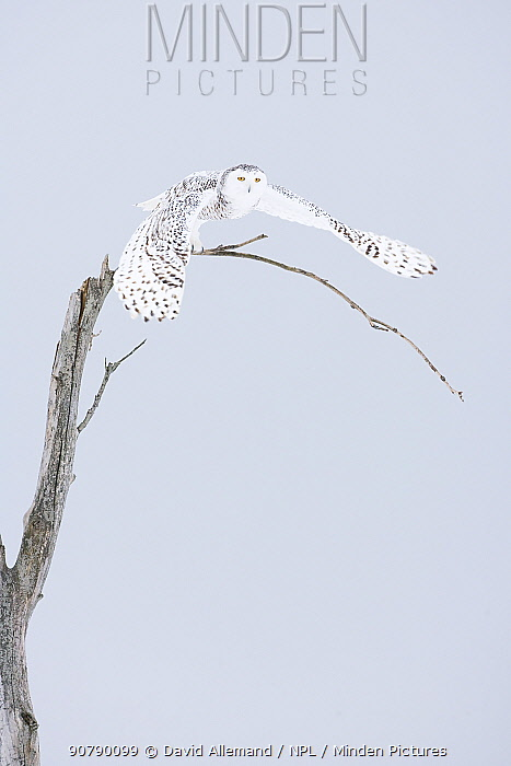 Snowy owl (Bubo scandiacus)  female taking off the winter tree, Quebec, Canada, February.