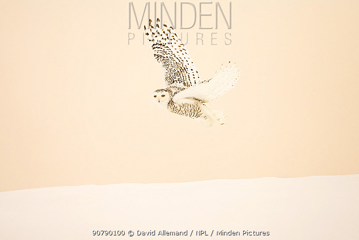Snowy owl (Bubo scandiacus)  female flying, Quebec, Canada, February.