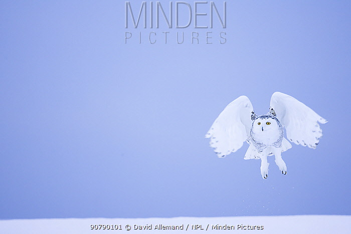 Snowy owl (Bubo scandiacus)  female landing in the snow, Quebec, Canada, March.