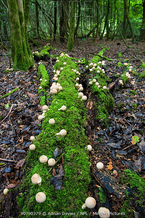 Stump puffball (Lycoperdon pyriforme) growing on fallen log in woodland, Sussex, England, UK, September.
