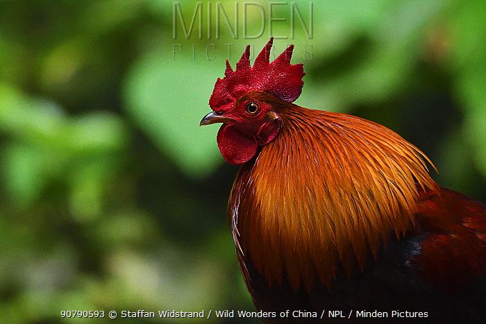 Red jungle fowl (Gallus gallus) bird portrait photographed in Tongbiguan Nature Reserve, Dehong Prefecture, Yunnan Province, China, April.