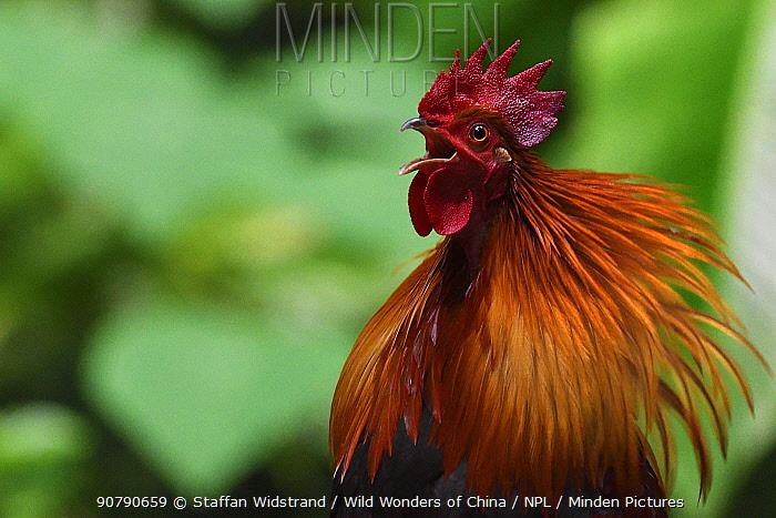 Red jungle fowl (Gallus gallus) portrait,  Tongbiguan Nature Reserve, Dehong Prefecture, Yunnan Province, China, April.