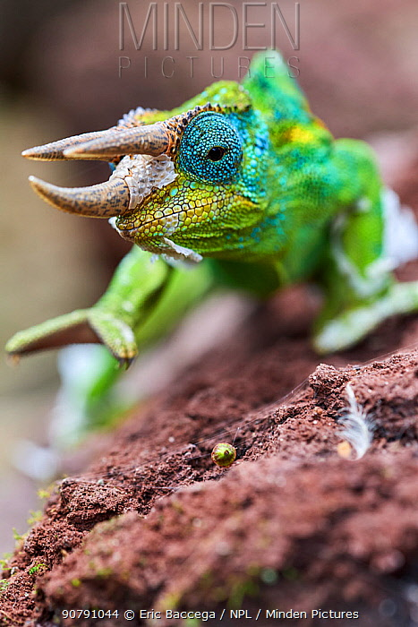 Jackson's three-horned chameleon (Trioceros jacksonii) Bwindi Impenetrable Forest, Uganda.