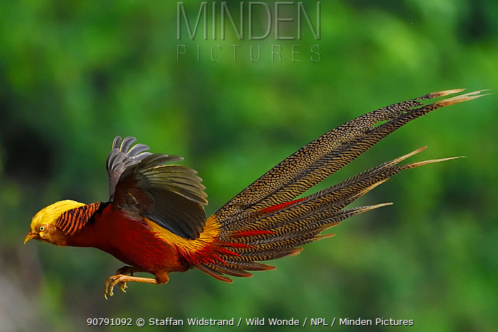 Golden pheasant (Chrysolophus pictus) male jumping,  Yangxian Biosphere Reserve, Shaanxi, China