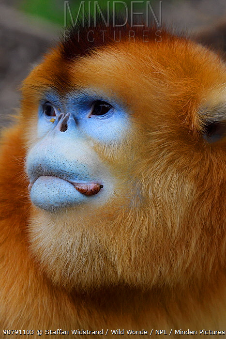 Golden snub-nosed monkey (Rhinopithecus roxellana) portrait, Foping Nature Reserve, Shaanxi, China. Endangered species