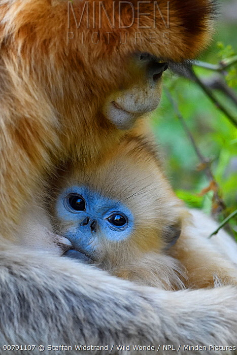 Golden snub-nosed monkey (Rhinopithecus roxellana) female with baby suckling, Foping Nature Reserve, Shaanxi, China. Endangered species