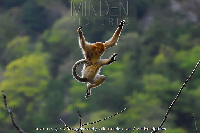 Golden snub-nosed monkey (Rhinopithecus roxellana) jumping from branch to branch, Foping Nature Reserve, Shaanxi, China. Endangered species